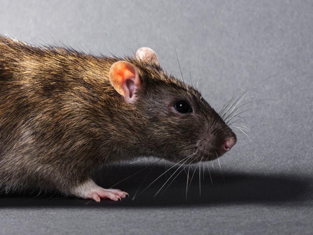 Common issues caused by rodents